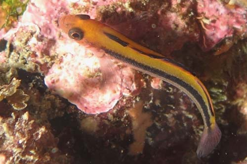 Oblique swimming triplefin