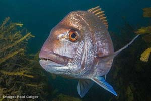 snapper by paul caiger